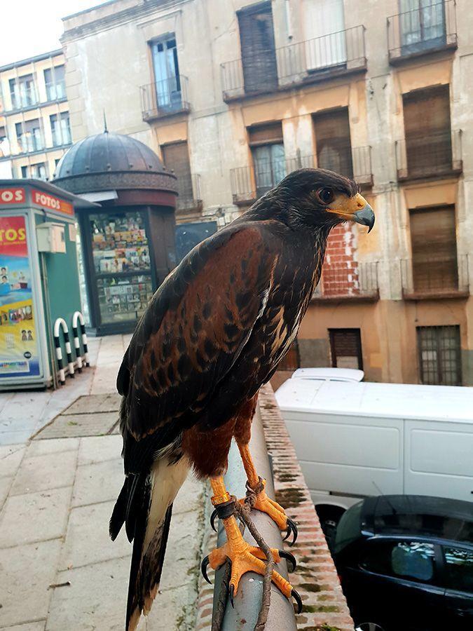 El Ayuntamiento de Guadalajara realiza vuelos  disuasorios con aves rapaces para ahuyentar a las palomas en Santo Domingo y la Concordia
