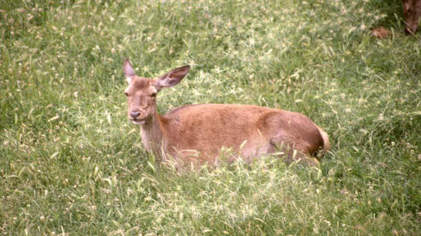 Científicos del IREC identifican la mejor estrategia para administrar tratamientos sanitarios al ciervo silvestre por vía oral