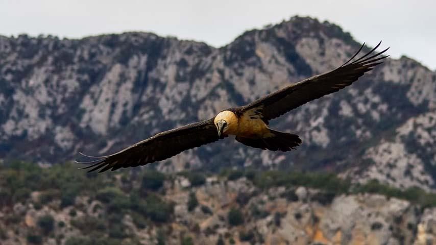 El IREC edita la primera monografía sobre el estado de conservación del quebrantahuesos en España