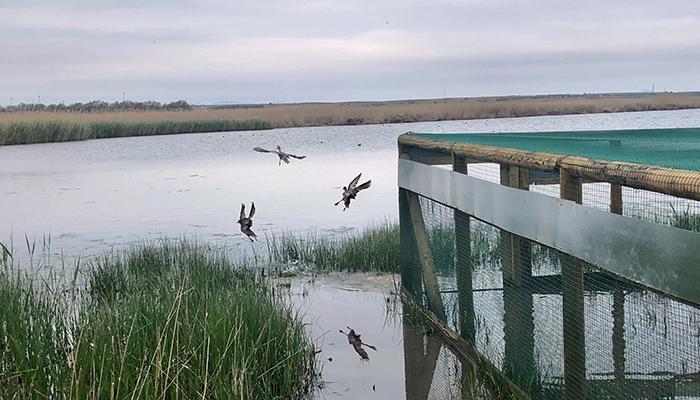 Castilla-La Mancha continúa con los trabajos de recuperación de la cerceta pardilla en la región con la suelta de 20 ejemplares en el complejo Lagunar de Alcázar de San Juan